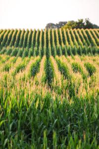 Corn field - commodities