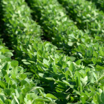 Closeup of green soybean rows