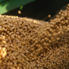 Seed Selection Considerations for Soybeans and Corn